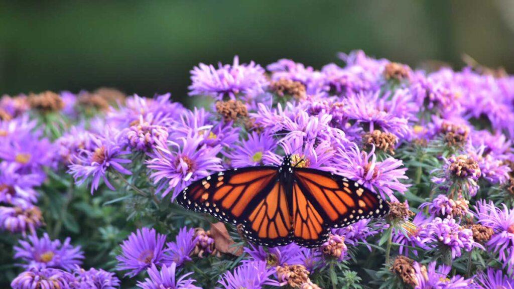 Schmetterlinge können sich auch in einem Insektenhaus niederlassen